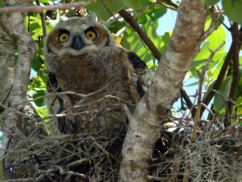 Great horned owl hatchling trusts no one (Courtesy Chris Reiss, Everglades NPS)