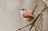 Carolina wren (Courtesy of Kelly Colgan Azar)