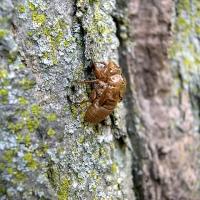 How do Cicadas Know When to Emerge?