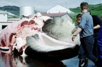 A fin whale being flensed at the Hvalfjörður whaling station in Iceland (Wikimedia Commons)