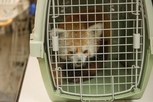 Rusty, captured, awaits to be re-released in his pen at the Smithsonian's National Zoo. Photo courtesy of the Smithsonian.