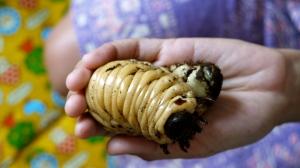 Hercules beetle grub