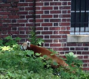 One photo of the escape red panda that circulated Twitter on June 25, 2013.
