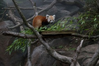 A Smithsonian National Zoo red panda escaped from his pen on June 24, 2013. Photo courtesy of the Smithsonian.