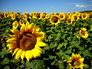 The iconic yellow faces of sunflowers, now grown all over the globe, originated in eastern North America (Courtesy Kristian Kretschmann)