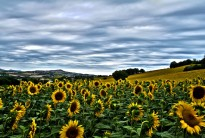 Sunflowers: evidence of an independent origin of agriculture (Courtesy Lucassen Emmanuel)