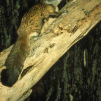 Flying Squirrels Get a Boost