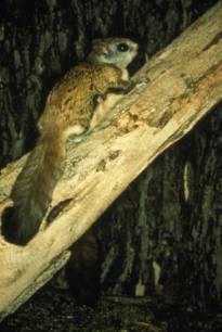 Virginia_Northern_Flying_Squirrel