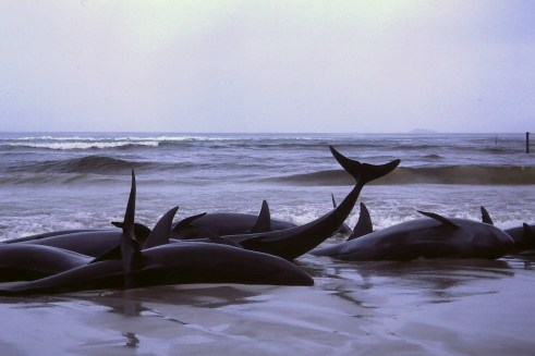 Whales beached in Flinders Bay in 1986. From Wikimedia Commons.