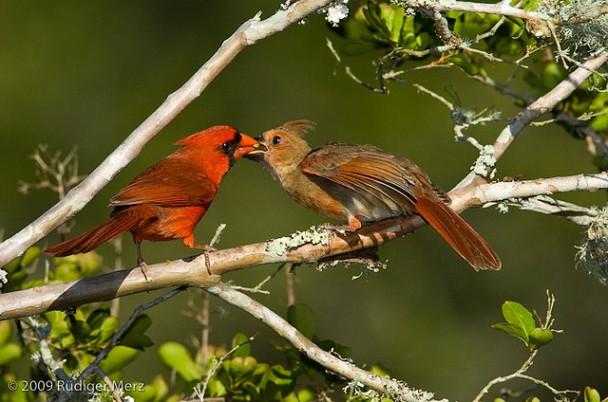 A male northern cardinal feeds a juvenile (Courtesy Rüdiger Merz)
