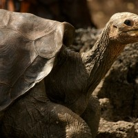 Why Scientists are Replacing Extinct Tortoises with Living Species