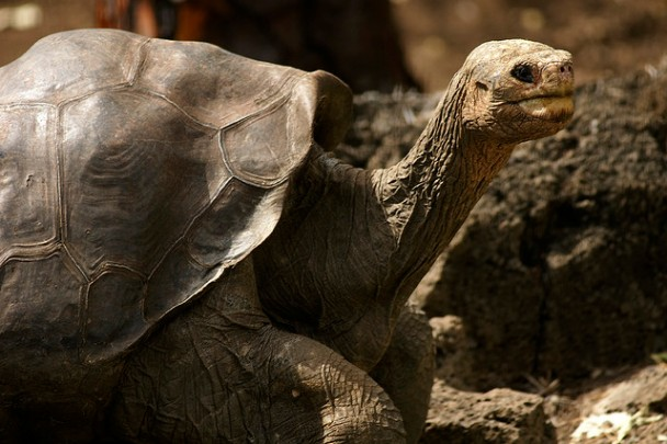 Lonesome George, whose 2012 death marked the extinction of the Galápagos Pinta Island tortoise. Researchers hope to fill the ecological hole left by his species with a similar tortoise (Courtsesy David Cook).