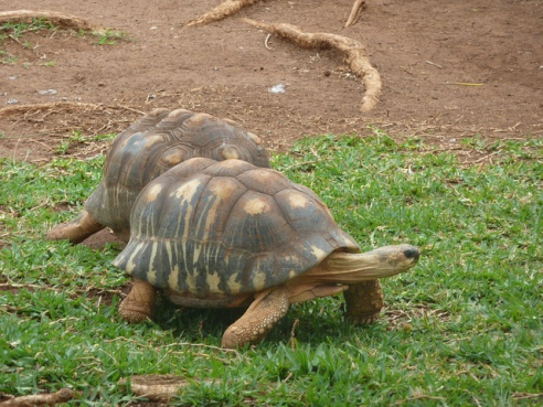 The radiated tortoise of Madagascar is one of the candidates for rewilding the island of Mauritius. (Courtesy Paul Morris)