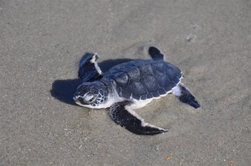 A baby green sea turtle from a previous season in SC makes its way to the waves (Courtesy Pat Lyons)