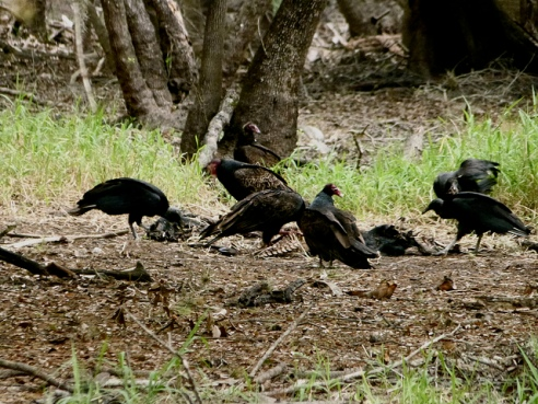 Black vultures cleaning up the carcass of a wild hog, Florida (Courtesy Emily Walker)