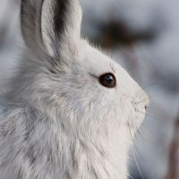 Snowshoe Hares + Reflections on a Wilderness Christmas