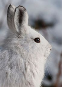 Snowshoe_Hare_(6990917710)